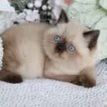 Seal Point Exotic Shorthair Himalayan Kitten