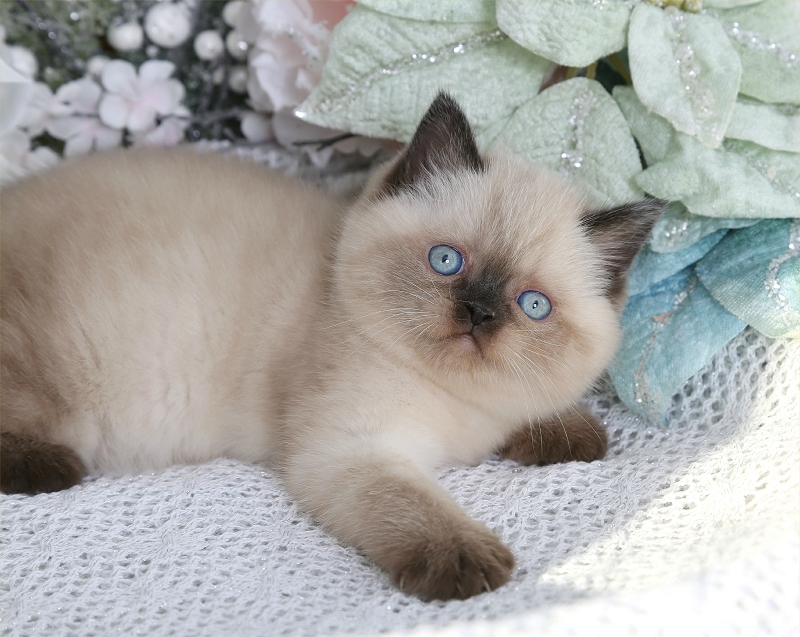 Seal Point Exotic Shorthair Himalayan Kitten For SalePre