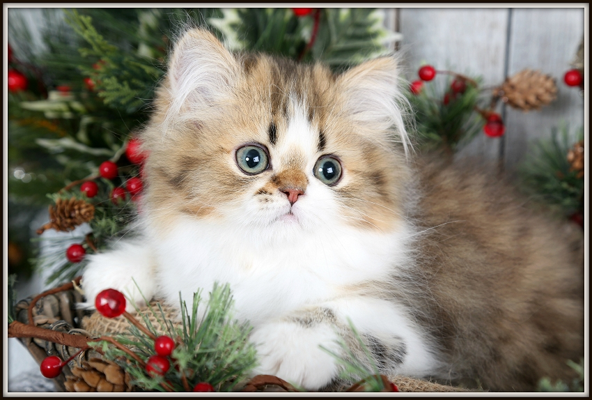 Shaded Golden & White Bi-Color Persian Kitten