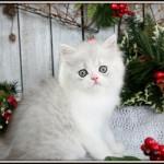 Silver & White Bi-Color Persian Kitten