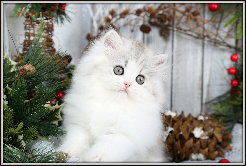 Silver & White Bi-Color Persian Kitten