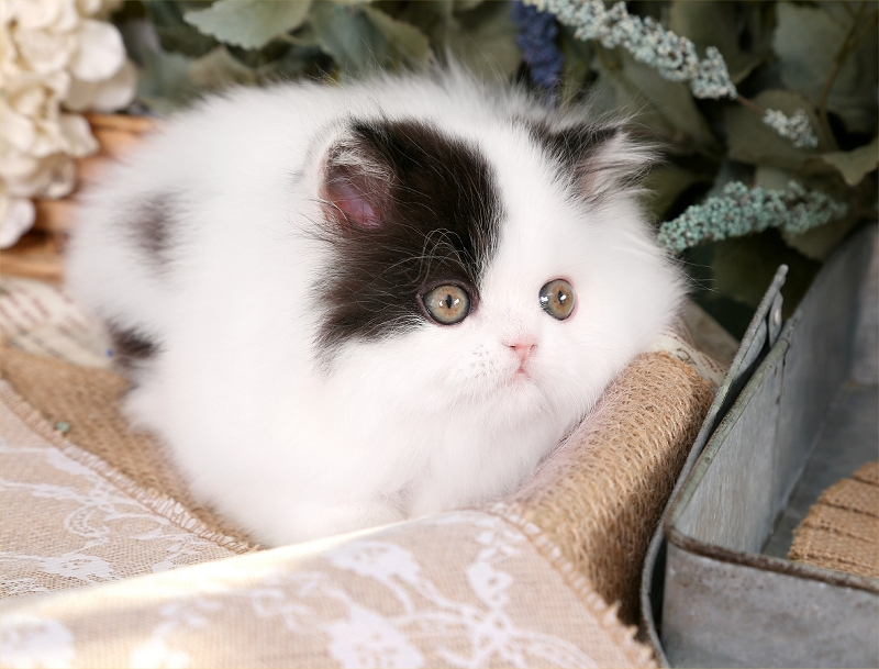 Black & White Patchwork Persian Kitten