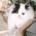 Black & White Patchwork Persian Kitten