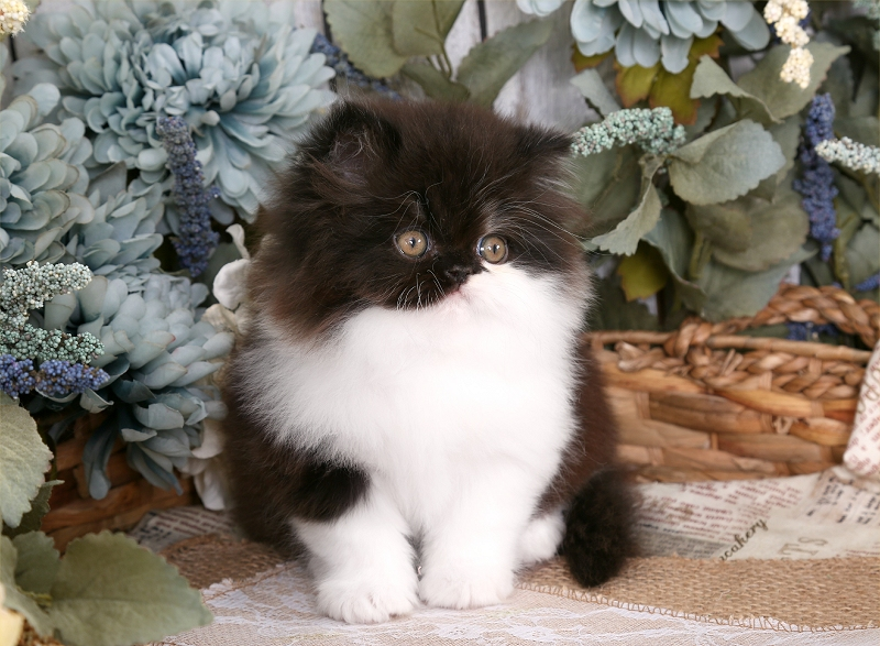 Black & White Persian Kitten