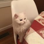 Doll Face Persian Kittens Reviews – Cheryl & Reina