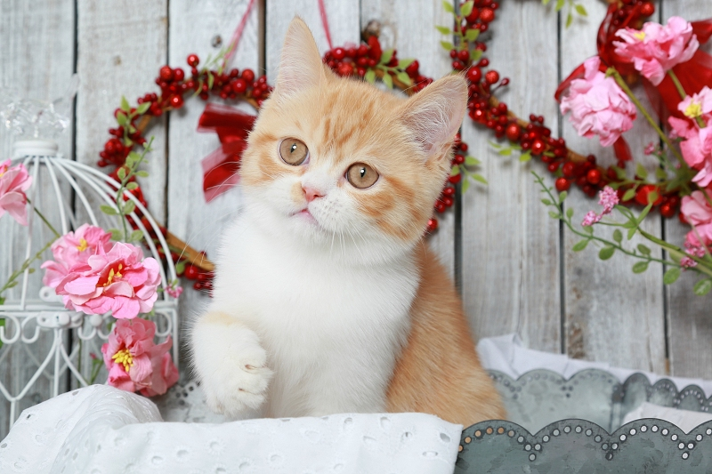 Red & White Exotic Shorthair Persian Kitten
