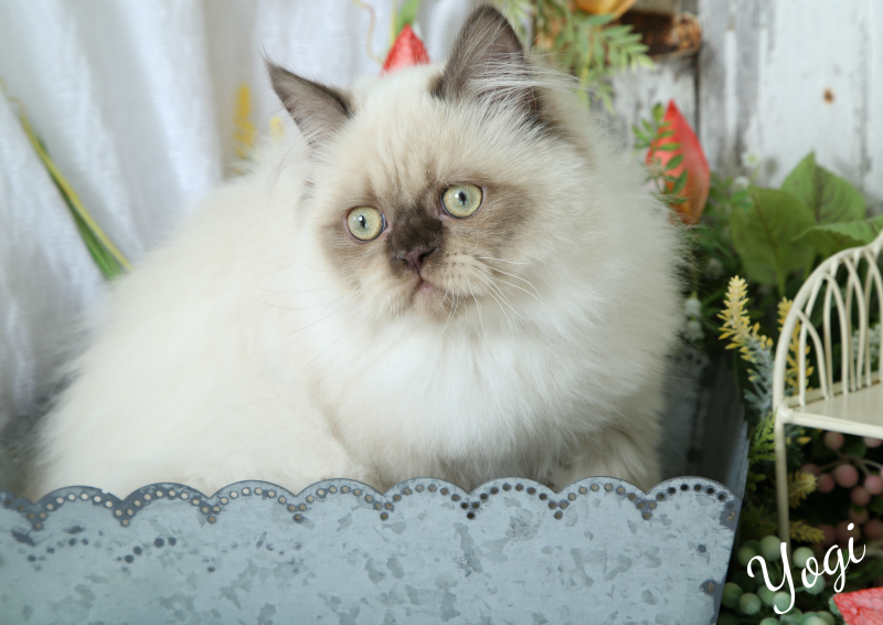 Chocolate Point Himalayan Kitten