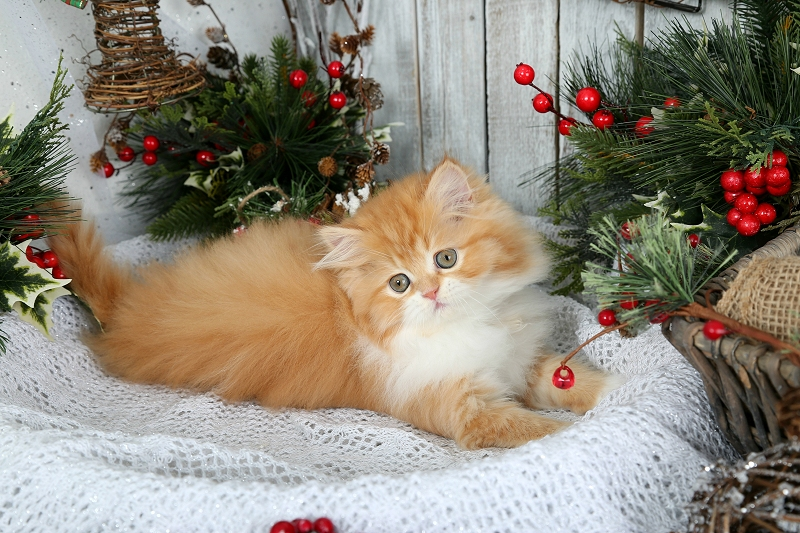 Red & White Bi-Color Persian Kitten