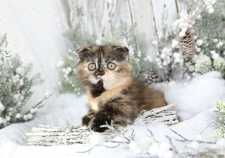 Tortoiseshell Exotic Shorthair Persian Fold Kitten