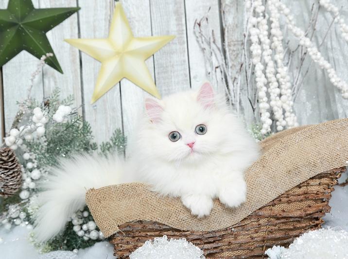 Cream Chinchilla & White Persian Kitten