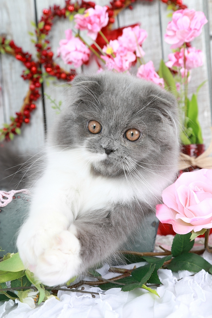 Blue & White Persian Fold Kitte