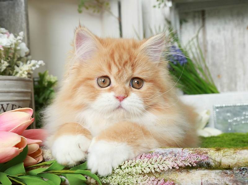 Red & White Persian
