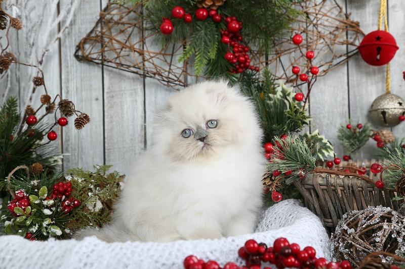Himalayan Fold Kitten - Doll Face Himalayan Kitten