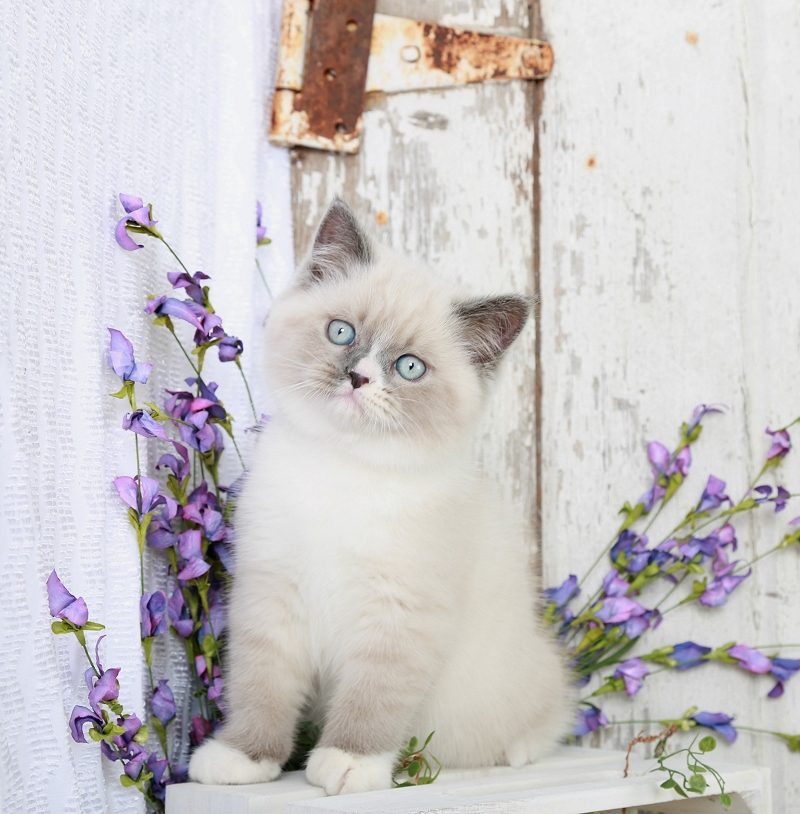 Blue Bi-Color & White Exotic Shorthair Himalayan Kitten