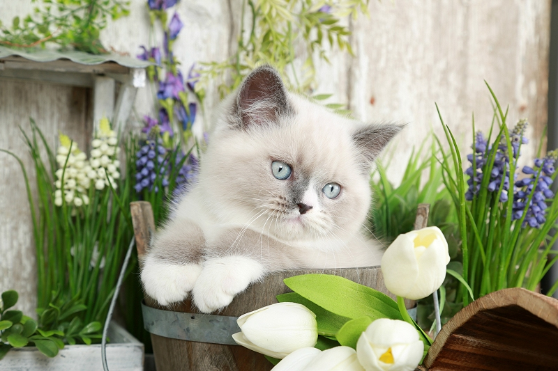 Blue Bi-Color & White Exotic Shorthair Himalayan Kiten