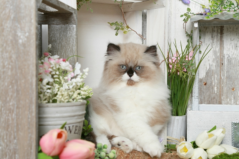 Seal Bi-Color & White Himalayan Kitten