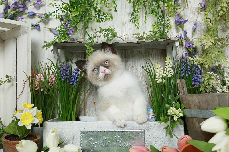 Exotic Shorthair Himalayan Kitten