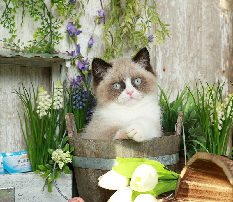 Seal Bicolor & White Exotic Short Hair Himalayan
