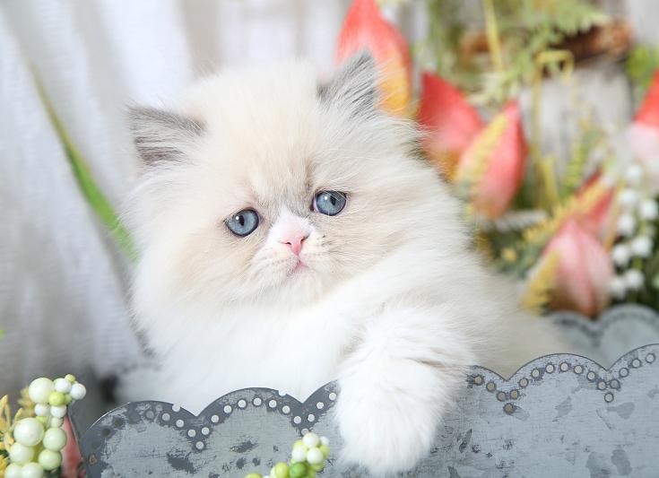 Lilac Point Kitten