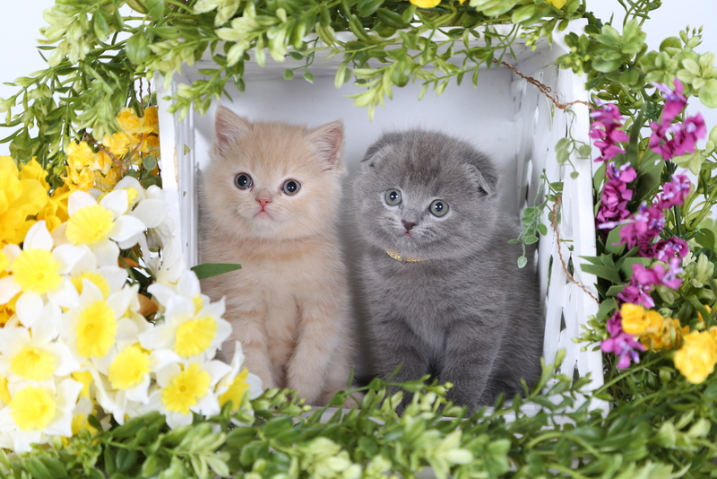 Exotic Short Hair Fold - Doll Face Persian Kittens