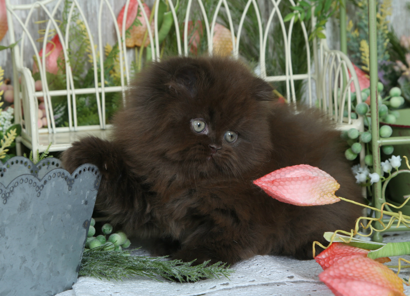 Chocolate Persian Kitten