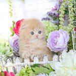 Cream Persian Fold Kitten