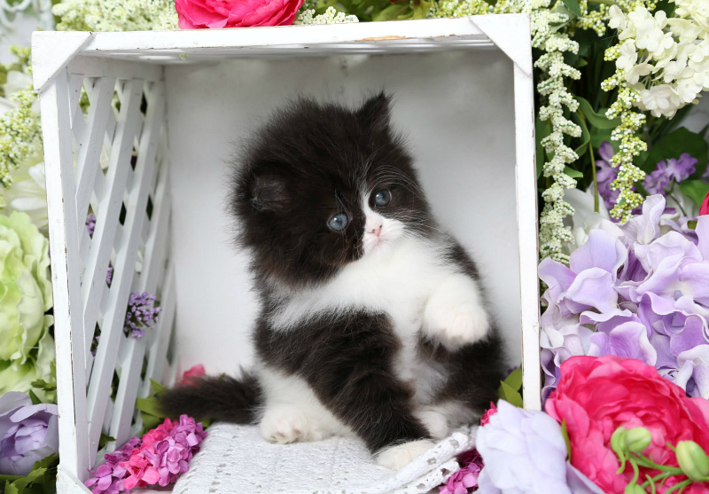 Tuxedo Persian