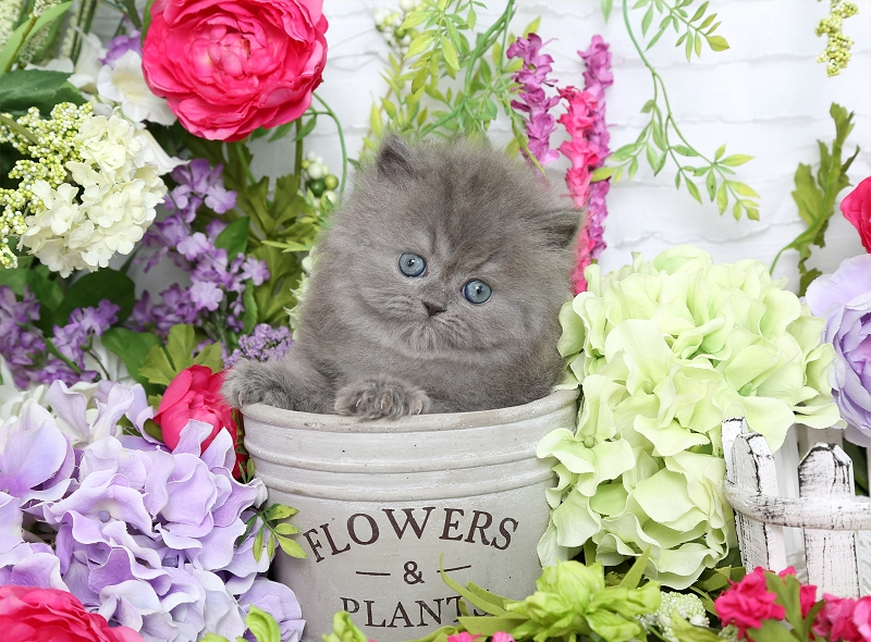Blue Persian Kitten