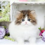 Golden & White Doll Face Kitten