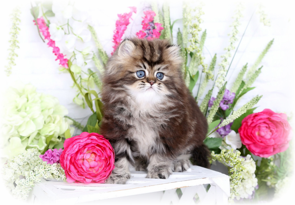 Golden Tabby Persian Kitten