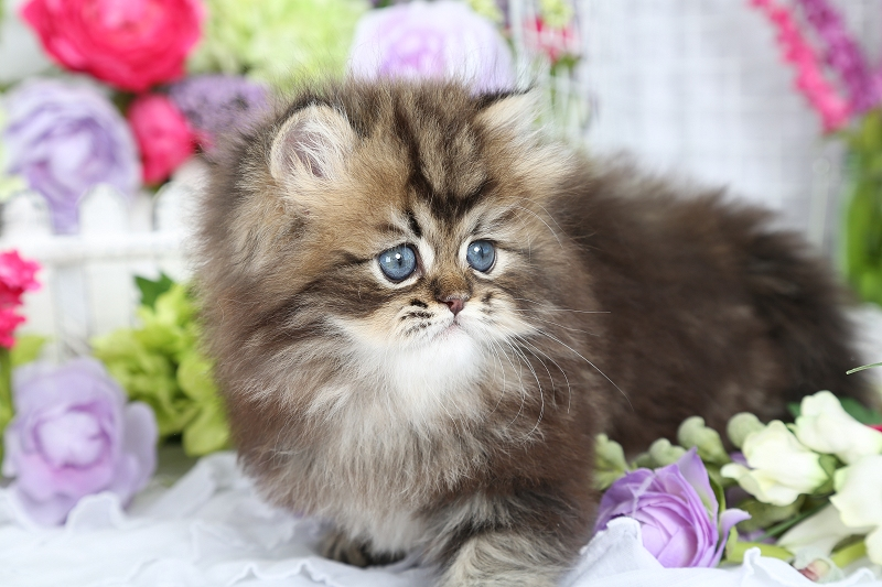 Golden Persian Kitten