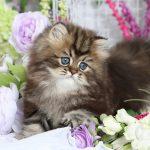 Golden Tabby Persian