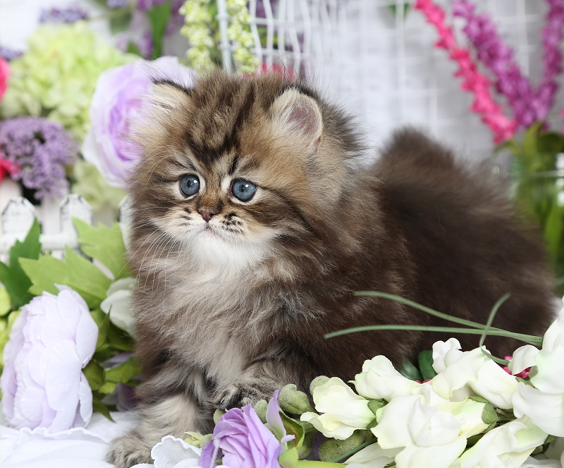 Tabby Persian Kitten