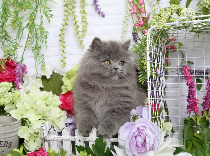 Blue Persian Kitten - Doll Face Persian Kittens