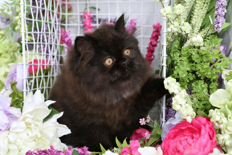 Black Doll Face Kitten