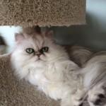 Doll Face Persian Kittens Reviews – Elena