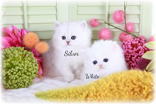 Silver vs. White Persian Kittens