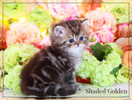 Shaded Golden Persian Kittens For Sale