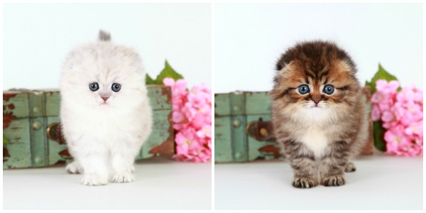Doll Face Persian Kittens - Persian Folds