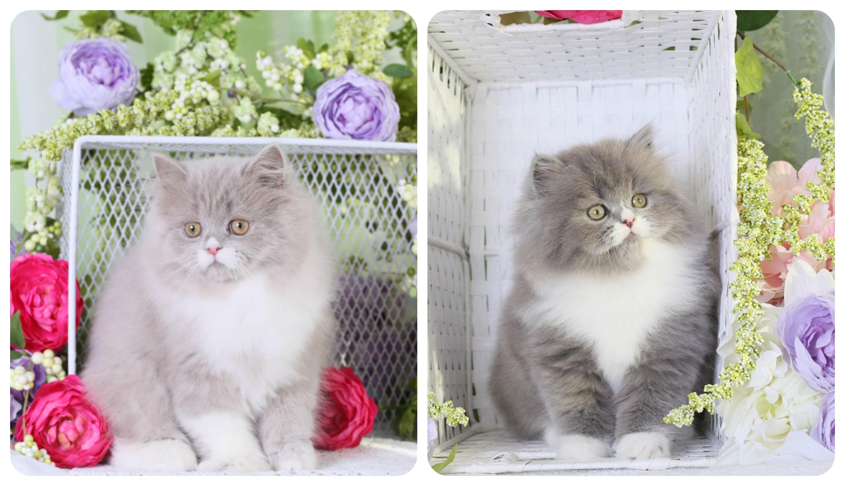 lilac & White vs blue & White