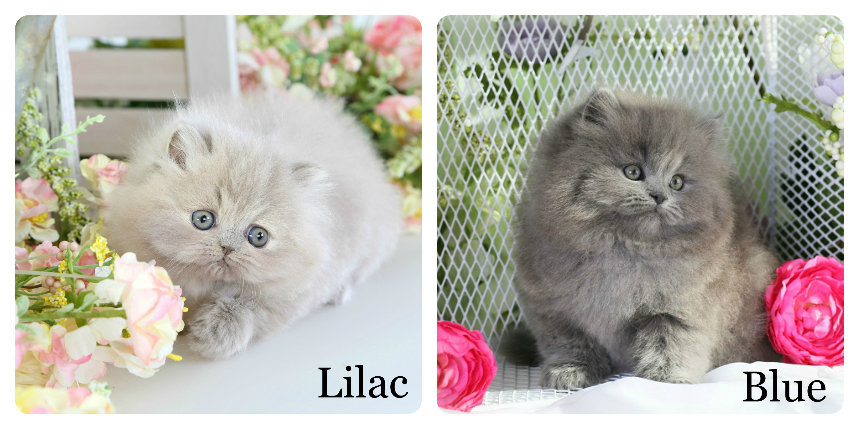 Persian Coat Colors Ultra Rare Persian Kittens For Sale 660