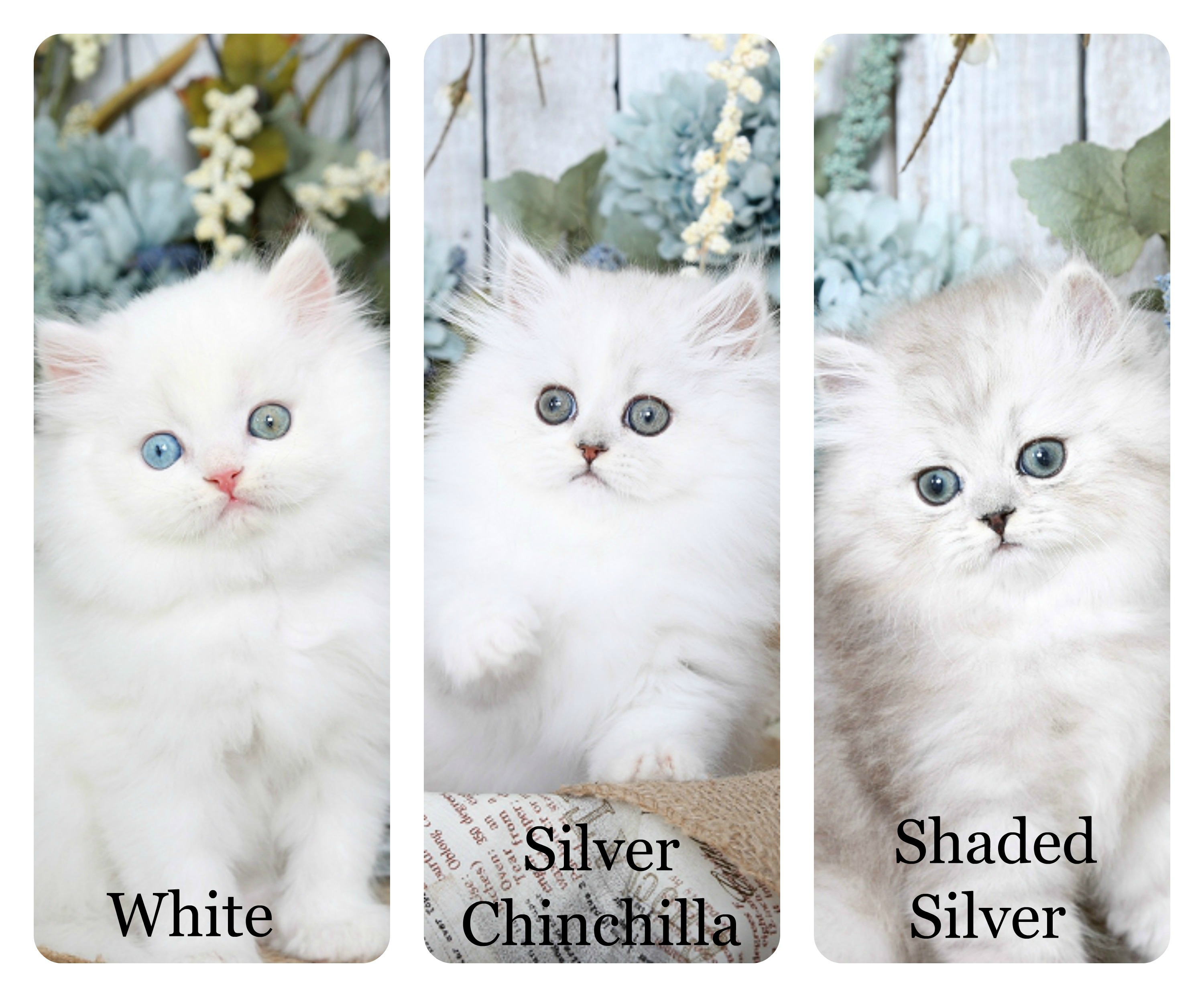 White, Silver, & Shaded Silver Persian
