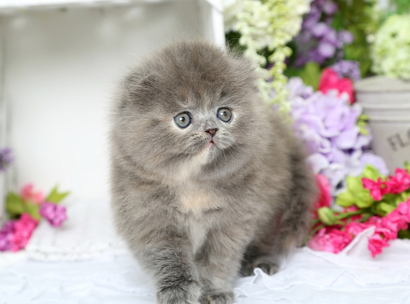 Persian Fold Kitten - Minuet Persian Kitten - Doll Face Persian Kittens