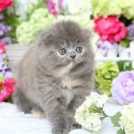 Blue Cream Persian Fold