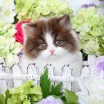 Bicolor Persian