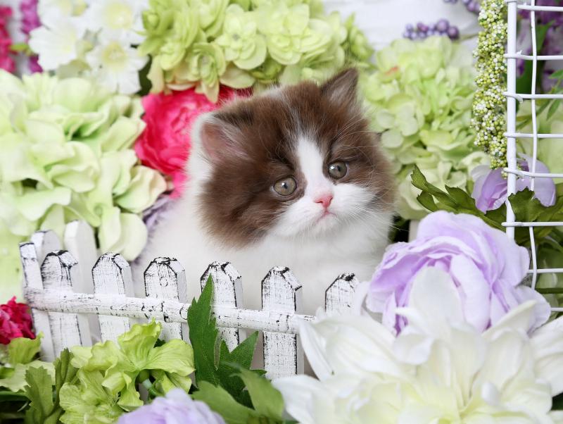 Chocolate & White Persian