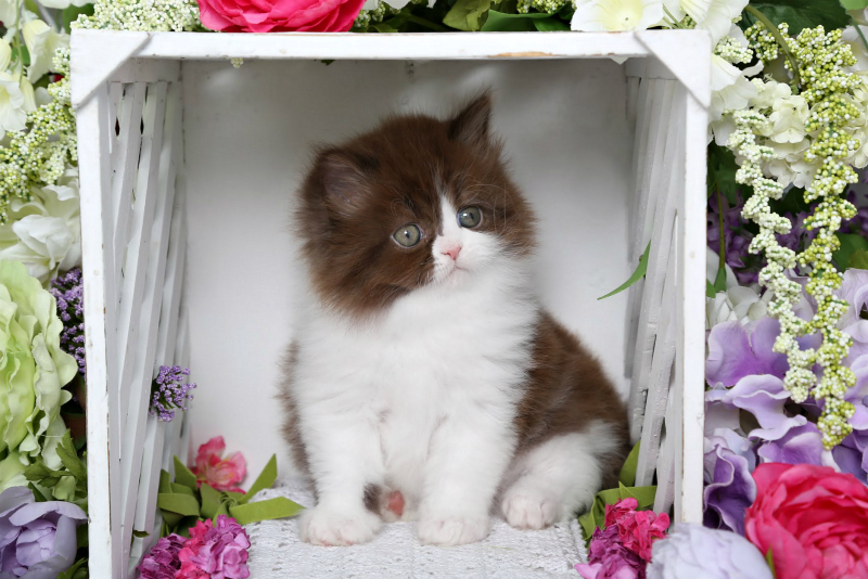 Chocolate & White Persian