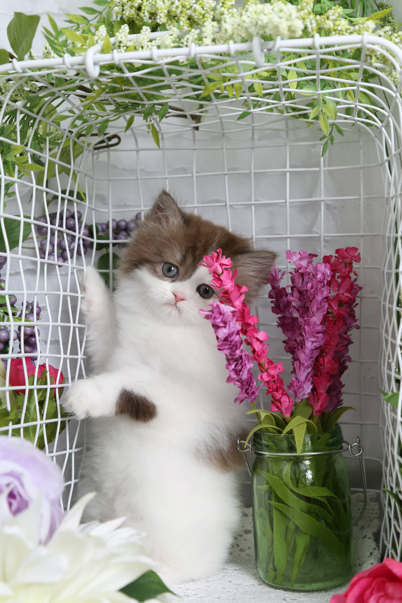 Bicolor Persian Kitten