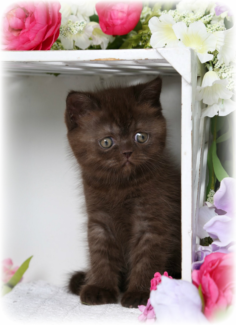 Exotic Short Hair Chocolate Persian Kittens