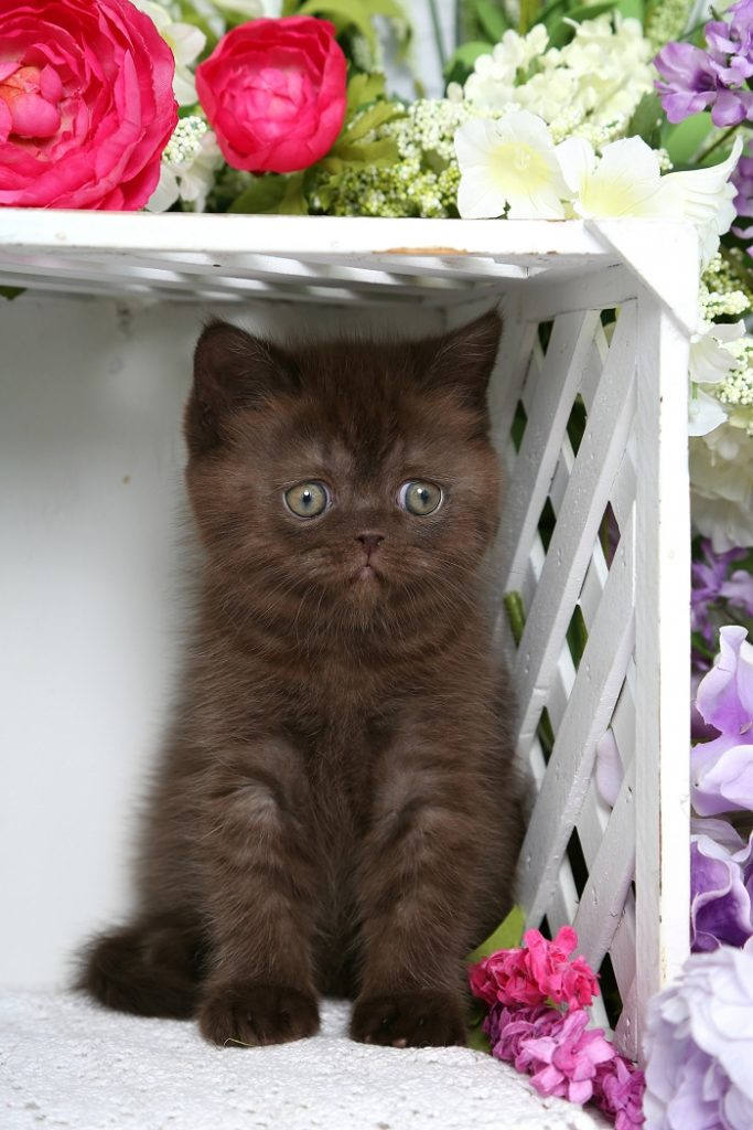 Exotic Short Hair Persian Kitten for Sale